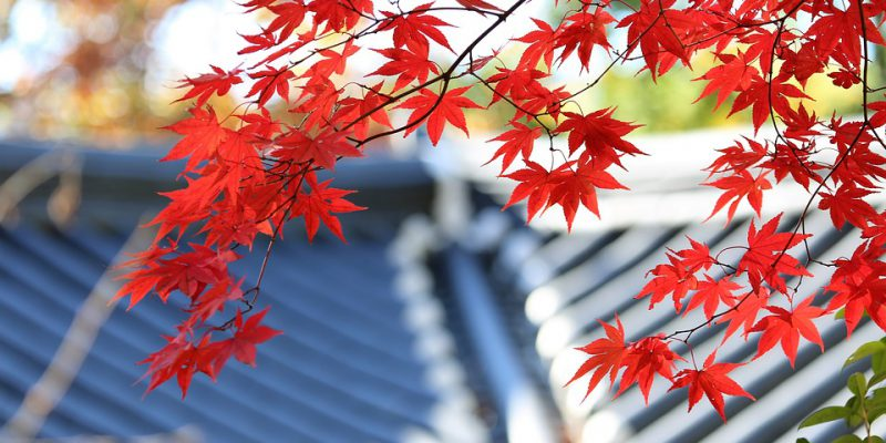 japanese maple with roof int he background
