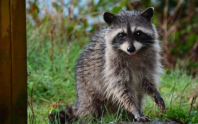 a wet and sassy raccoon